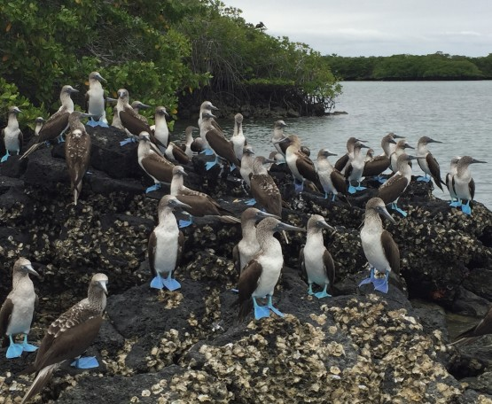 Blue-footed boobies were in abundance during a ponga trip on the coast of Santa Cruz island.